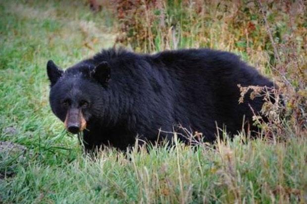 Beruang Hitam Amerika, Kanada dan Asia